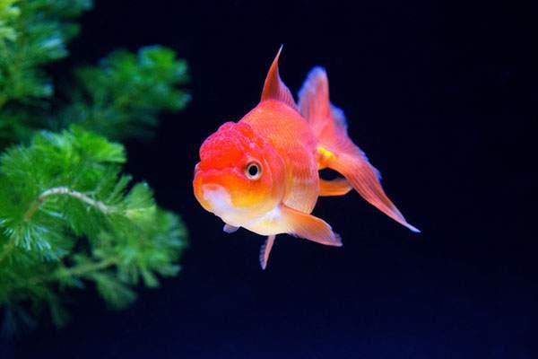 上品な泳ぎやブサかわいさが魅力の金魚・らんちゅうの飼い方のサムネイル画像