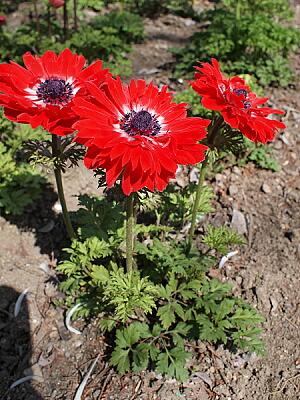 ガーデニングの定番中の定番の花・アネモネの育て方まとめ!のサムネイル画像