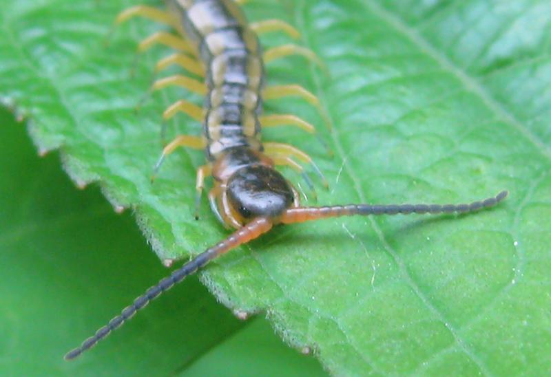 大昔から姿が変わらない「ムカデ」!この害虫の駆除方法を調べます。のサムネイル画像