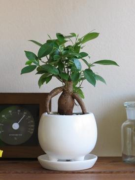 「幸せの木」と呼ばれる人気の観葉植物ガジュマルの魅力と育て方のサムネイル画像