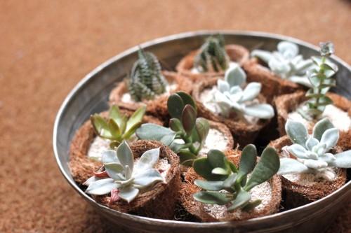 多肉植物を育ててみたい人は必見!育て方が簡単な多肉植物まとめのサムネイル画像