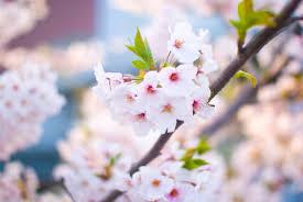 4月の花 ~出会いとはじまりの季節にはピンクの花が多い?~のサムネイル画像