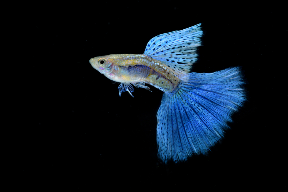 人気の熱帯魚を紹介!アクアリウム初心者が飼いやすい熱帯魚とは?のサムネイル画像
