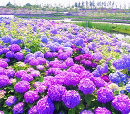 水もしたたるいいお花♡梅雨にきれいなあじさいの種類をご紹介♪のサムネイル画像