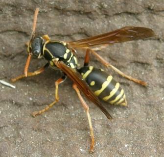 黄色いボディに黒い模様のアシナガバチ。様々な種類をご紹介♪のサムネイル画像