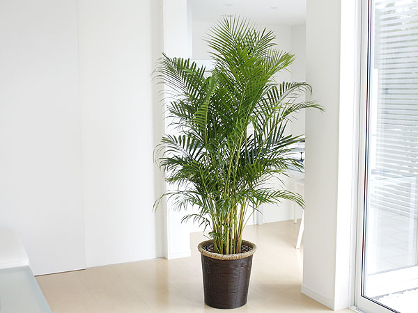 さあ、あなたも始めてみませんか?大鉢の観葉植物のある生活をのサムネイル画像