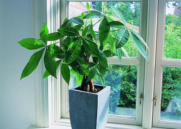 インテリアに、贈り物に、観葉植物『パキラ』の魅力と育て方のサムネイル画像
