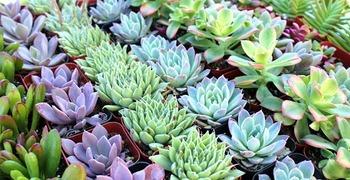 大人気の多肉植物、あなたはその種類をどれくらいご存知ですか?のサムネイル画像