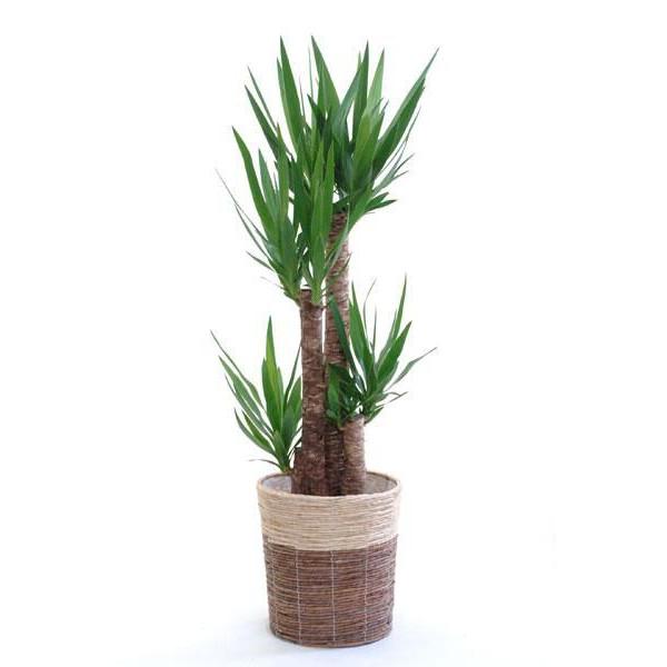 【グリーンインテリア】観葉植物ユッカについてまとめてみましたのサムネイル画像