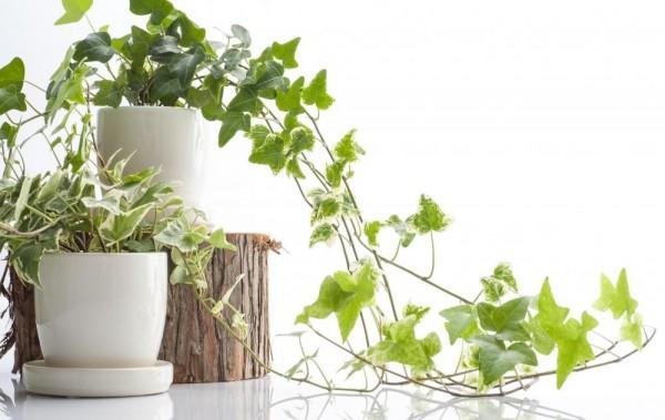 いま話題の、インテリアにもおすすめな観葉植物を紹介しますのサムネイル画像
