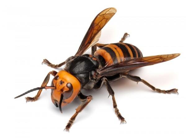 羽音が聞こえたら危険のサイン!危険なスズメバチの種類をご紹介のサムネイル画像