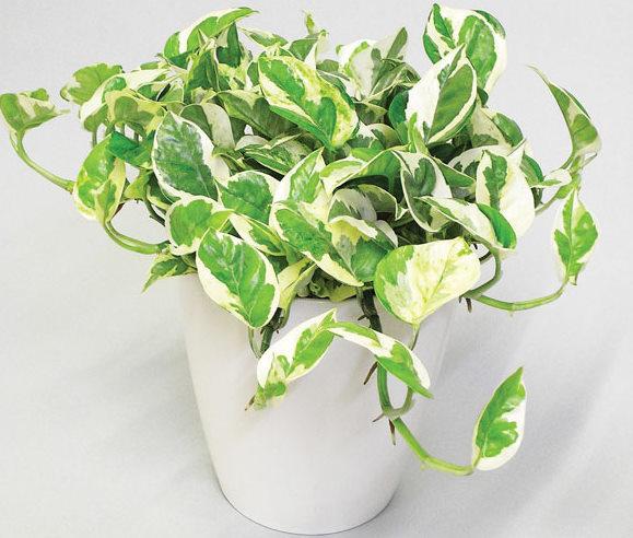 インテリアでも人気、おしゃれで癒される観葉植物 ポトスの魅力のサムネイル画像