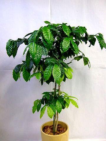 インテリアにおすすめ、観葉植物コーヒーの木。育て方のポイントのサムネイル画像