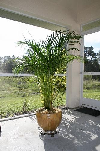 南国リゾート気分☆観葉植物のアレカヤシを育ててみましょう!のサムネイル画像