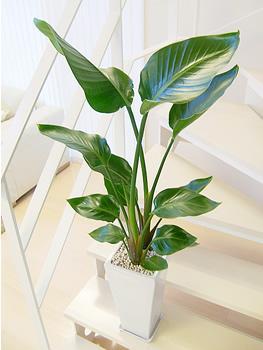 観葉植物でトロピカル!置くだけで南国気分になれちゃうオーガスタ☆のサムネイル画像