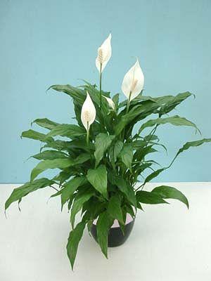 清楚なイメージの白い花がカワイイ☆観葉植物、スパティフィラム♪のサムネイル画像