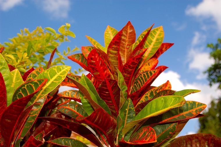 """観葉植物""""クロトン""""の花言葉と育て方!種類や品種、挿し木の時期のサムネイル画像"""