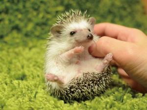 いつかは飼ってみたい♡可愛いハリネズミの飼育方法をCHECK♪のサムネイル画像