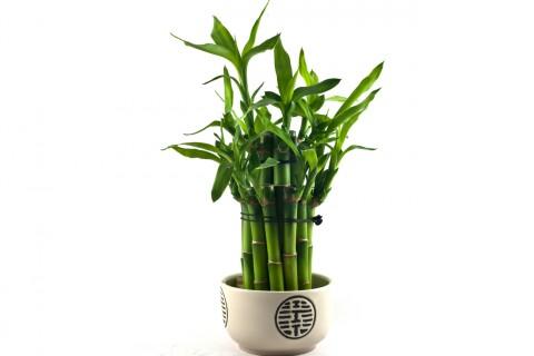 これであなたの金運アップ☆観葉植物「サンデリアーナ」の育て方のサムネイル画像