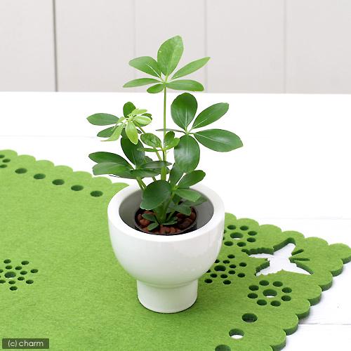 寒さにも日陰にも強い☆観葉植物「シェフレラ」を育てよう!のサムネイル画像