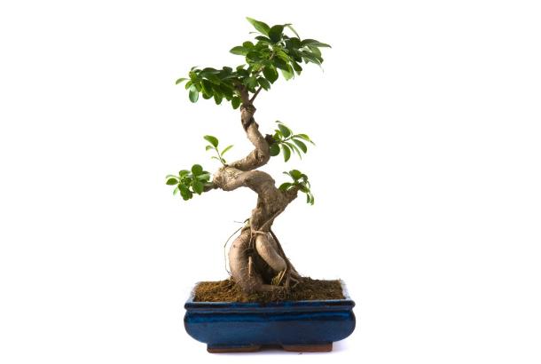 【インテリア】精霊が宿る木・ガジュマルを挿し木で増やしてみよう!のサムネイル画像