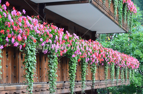 ガーデニング初心者でも大丈夫!育てやすい夏の花、大特集!のサムネイル画像