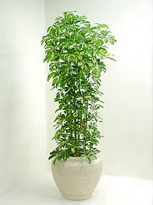 丈夫で手間いらず☆観葉植物「ホンコンカポック」を育てようのサムネイル画像