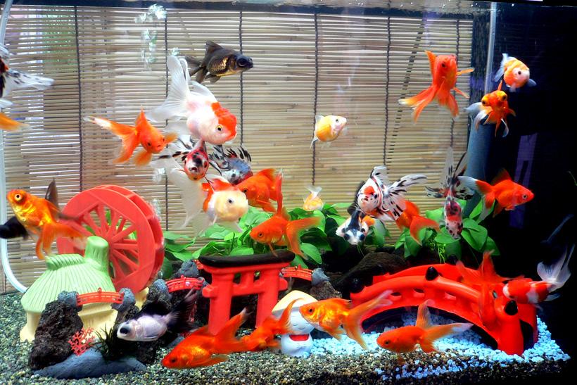 美しい金魚の水槽を素敵にレイアウト♡金魚も嬉しいキレイな水槽♪のサムネイル画像