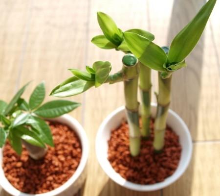 運気アップを期待できる観葉植物『開運竹(ミリオンバンブー)』のサムネイル画像