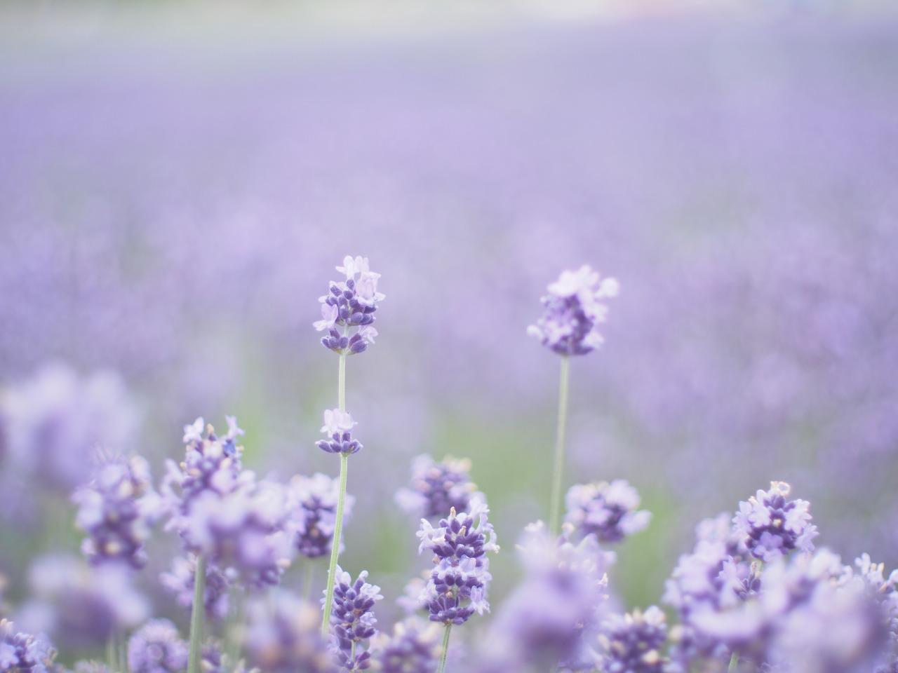 ラベンダーの香りでリラックスした生活を!精油の効能と使い方!のサムネイル画像