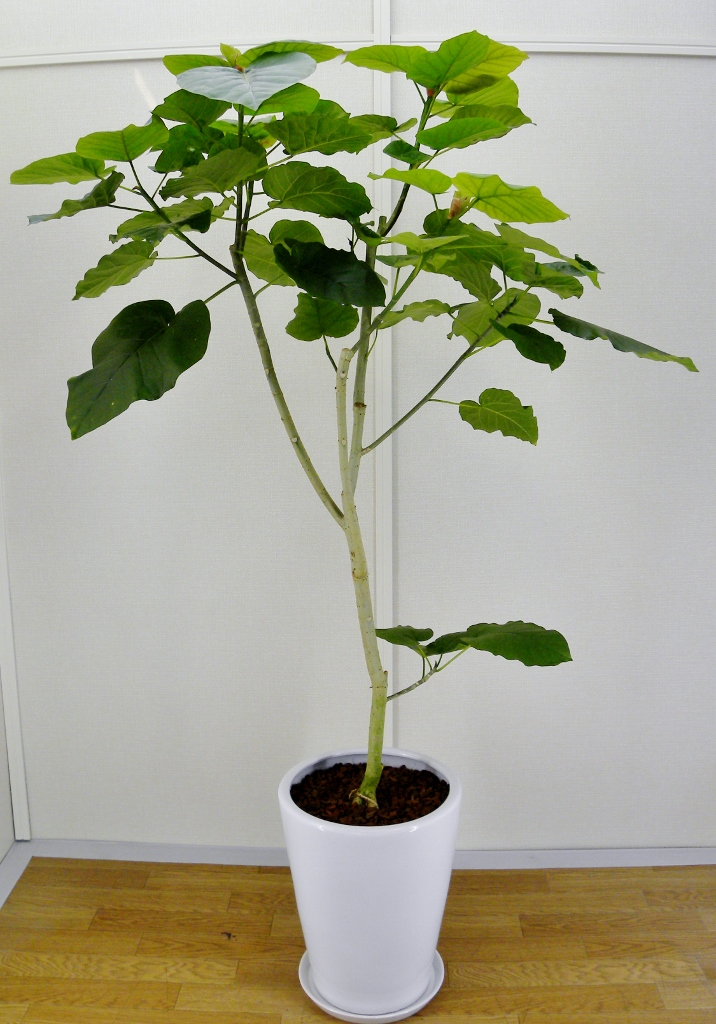 観葉植物のフィカス・ウンベラータの育て方・花言葉!風水について!のサムネイル画像