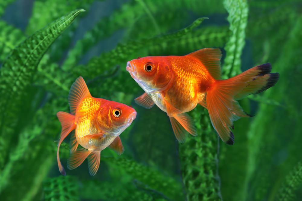 金魚飼育に使用できる砂利とは?おすすめの底床商品を紹介。のサムネイル画像