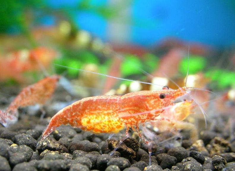熱帯魚と混泳可能なエビを紹介!おすすめの人気シュリンプは?のサムネイル画像