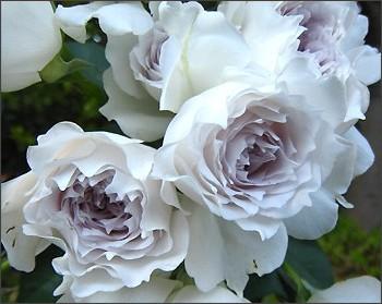 ため息が出るほどの美しさ…新品種のバラをまとめてご紹介しますのサムネイル画像