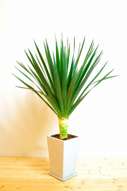 幸運を呼び込むインテリアグリーン☆観葉植物ドラセナを育てようのサムネイル画像