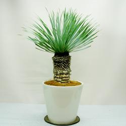 太い幹とシャープな葉がカワイイ☆観葉植物ユッカを育てようのサムネイル画像
