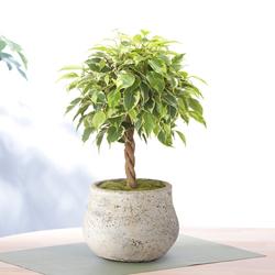 爽やかでオシャレなイケメン☆観葉植物ベンジャミンを育てようのサムネイル画像