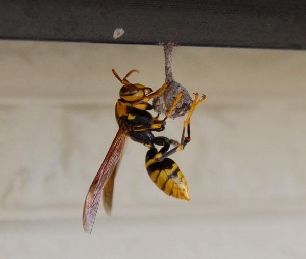 温厚だから共存できる?毒針を持つアシナガバチとその巣についてのサムネイル画像