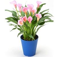 植え替えはいつ?カラーを元気に育てるポイントをご紹介します!のサムネイル画像