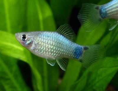 水草水槽にピッタリな熱帯魚は?おすすめの生体をまとめました。のサムネイル画像