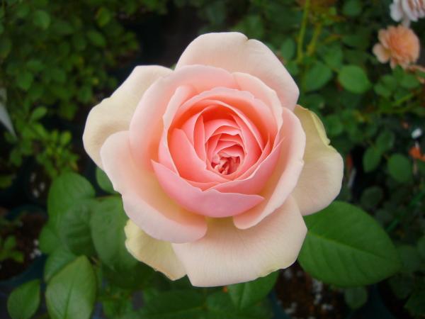 コツさえつかめばすぐ始められます。バラの育てるコツとは?のサムネイル画像
