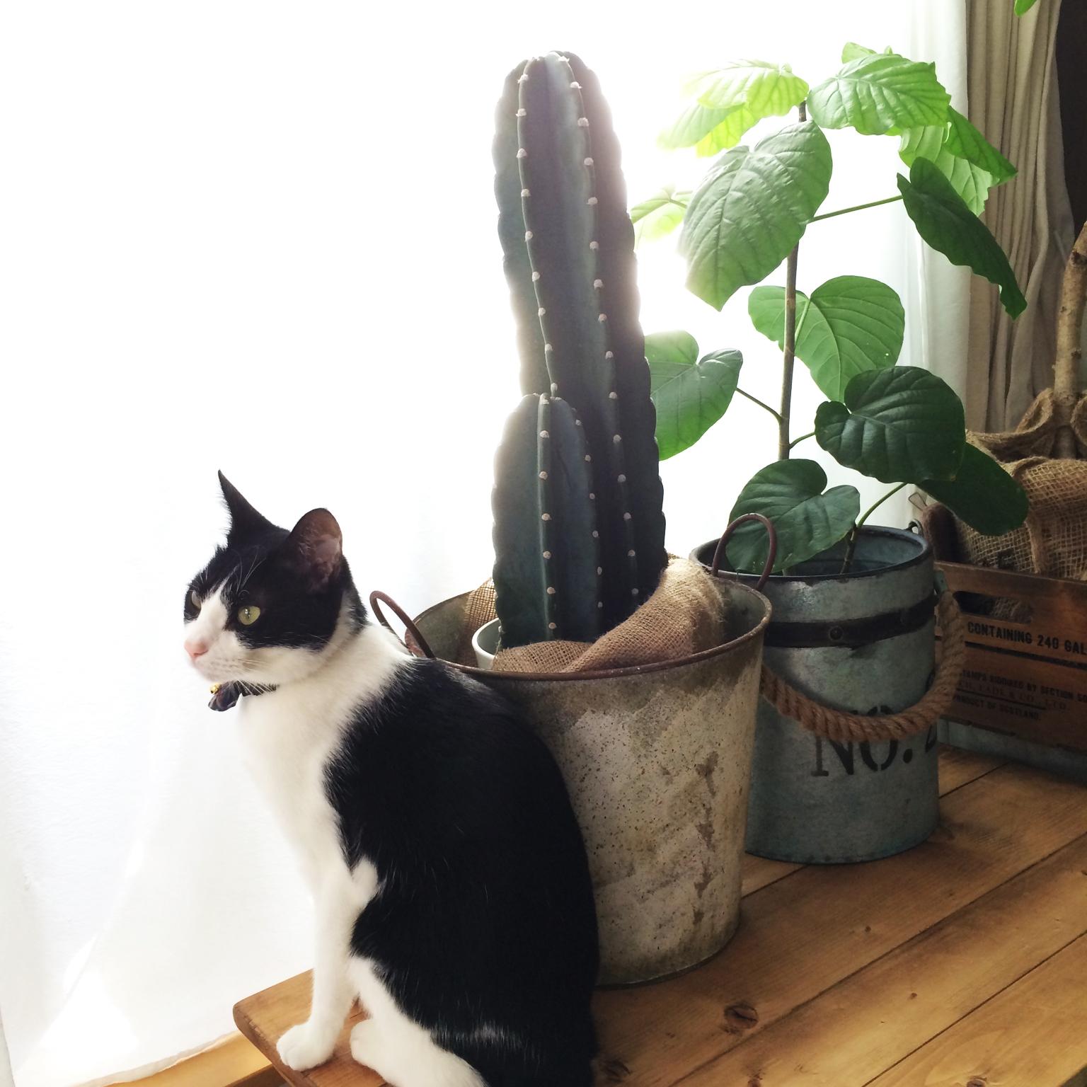 ワイルドな魅力♪ぐんぐん伸びる柱サボテンの育て方おしえます!のサムネイル画像