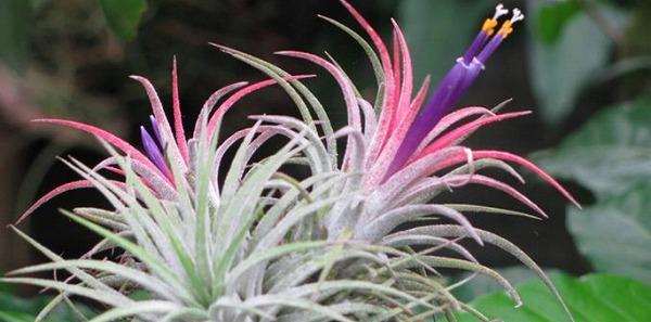 おしゃれな観葉植物チランジア ~ステキな育て方&増やし方~のサムネイル画像