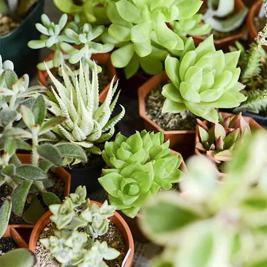 今ブームのかわいい多肉植物の種について。手に入れ方と育て方のサムネイル画像