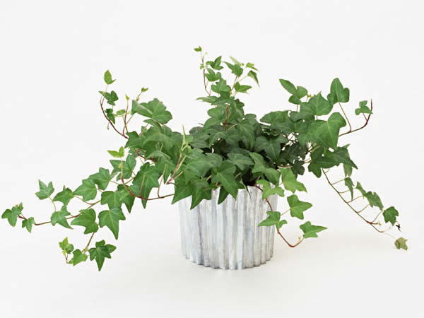 人気の観葉植物アイビー特集、育て方やおしゃれな飾り方を紹介のサムネイル画像