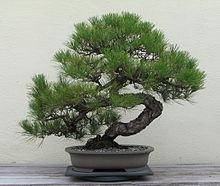 【園芸】初心者でもできる!ミニ盆栽の作り方をご紹介します!のサムネイル画像