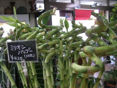 グリーンインテリアに観葉植物ミリオンバンブーを育ててみませんか!のサムネイル画像