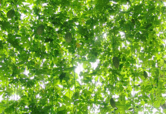 緑のカーテンは暑さ対策だけじゃない!育てて眺めて癒される♪のサムネイル画像