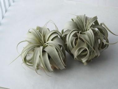 キセログラフィカの育て方。不思議な植物と暮らしませんか?のサムネイル画像