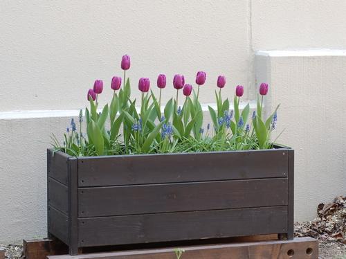 チューリップの寄せ植えはいかが?春になるのが待ち遠しい♪のサムネイル画像